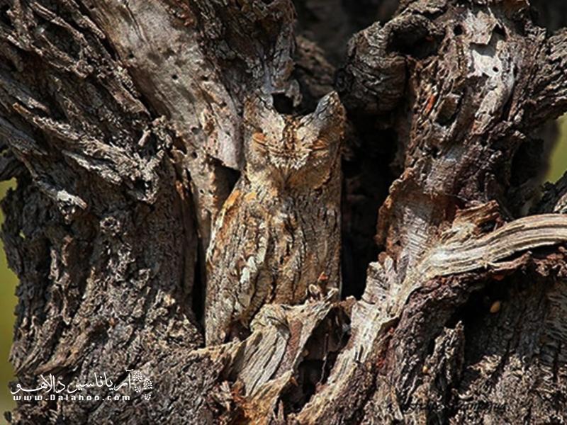 درباره جغد و تصاویری از استتار این پرنده